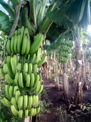Banana_farm_Chinawal