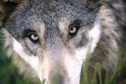wolf-1284276_960_720