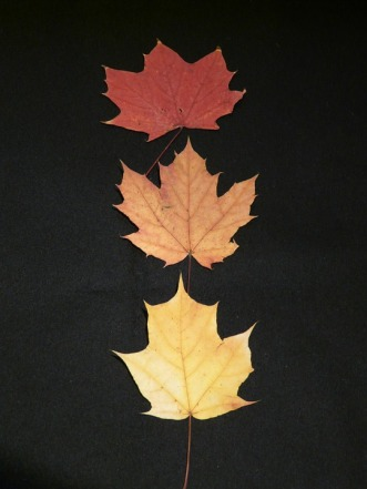 maple-leaves-63224_960_720